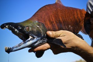 Green River Kokanee Salmon Fall Fly Fishing