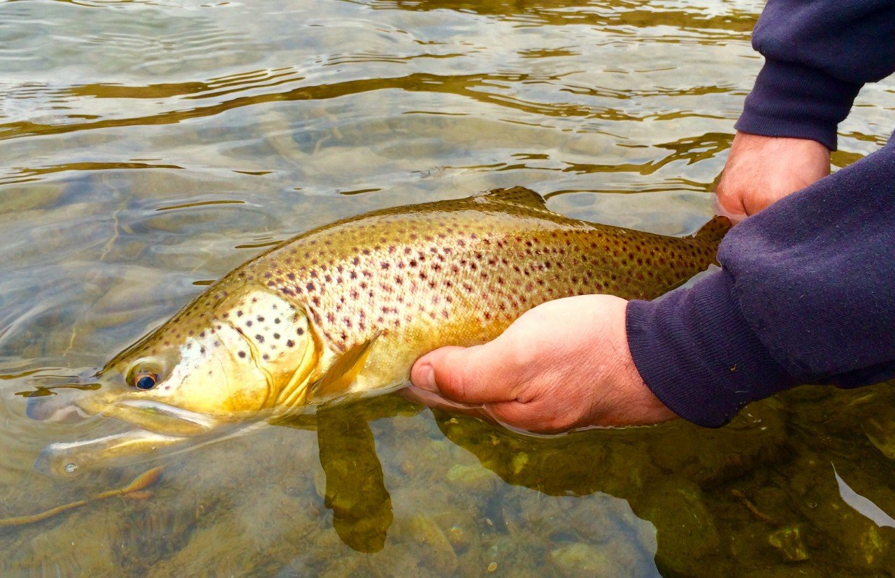 Bighorn river spawning rainbows dunoir fishing adventures for Bighorn river fishing report