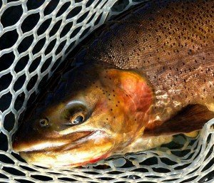 Bighorn River Cutthroat-guide Rick Mickelsen