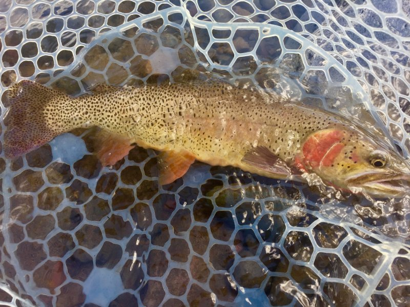 Wind River Fly Fishing Cutthroat Trout
