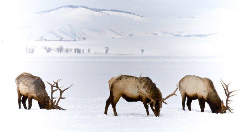 winter_bulls_20110501_1867074159